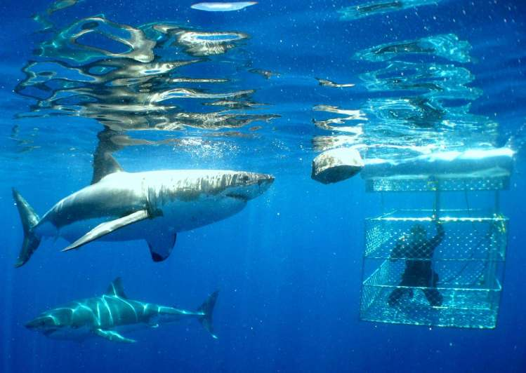 great-white-shark-cage-diving