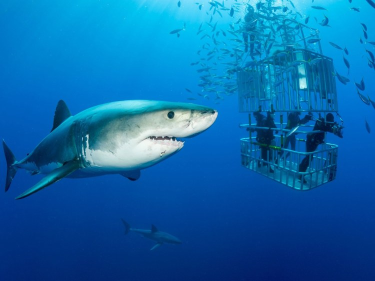 guadalupe-mexico-great-white-shark