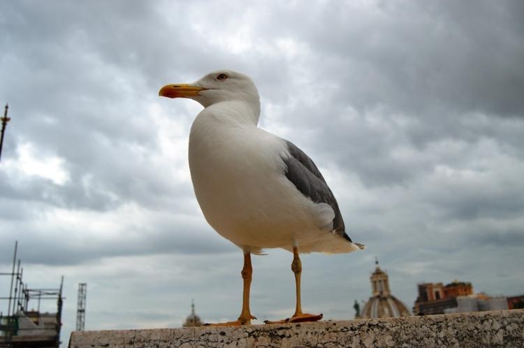 rome-pigeons
